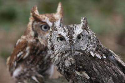 Vienna, Virginia. Pair of Eastern Screech Owls by Jolly Sienda