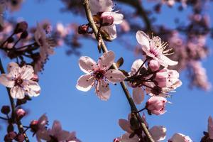 Washington, DC. Pink Cherry Blossoms on branches by Jolly Sienda