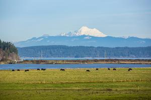 Whidbey Island, Washington State. Snowcapped Mount Baker, the Puget Sound, black cows and a pasture by Jolly Sienda