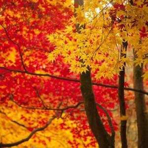 Autumn Foliage of Japanese Maple (Acer) Tree, England, Uk by Jon Arnold