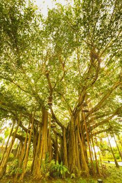 Banyan Tree, D'Eau Douce, Flacq, East Coast, Mauritius by Jon Arnold