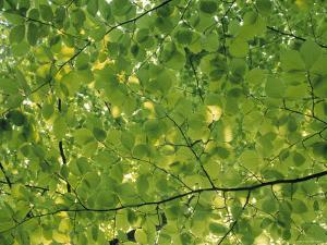 Beech Leaves by Jon Arnold