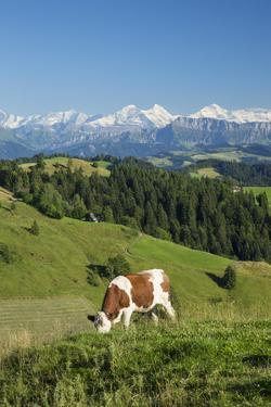 Grazing Cows, Emmental Valley and Swiss Alps in the Background, Berner Oberland, Switzerland by Jon Arnold
