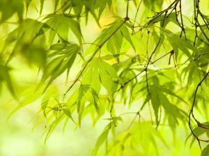 Japanese Maple (Acer) Tree in Springtime, England, UK by Jon Arnold