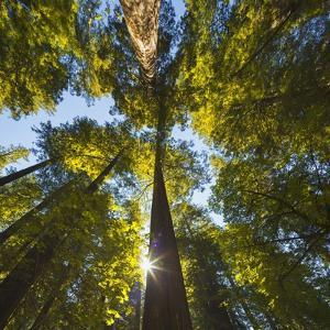 California Redwoods along the Avenue of the Giants. by Jon Hicks