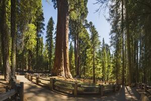 General Sherman in Sequoia National Park. by Jon Hicks