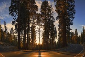Giant Sequoia National Park at Sunset. by Jon Hicks