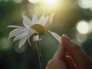 Person's Hand Pulling Petals off Daisy by Jon Riley