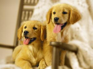 Two Golden Retriever Puppies Sitting in Chair by Jon Riley
