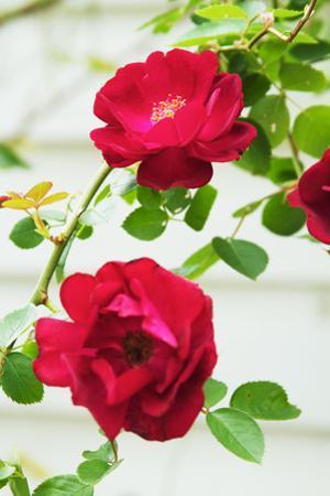 Flowering Rose Bush in a Garden by Jon Schulte