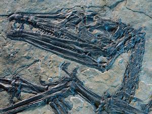 Oldest Pterosaur Fossil by Jonathan Blair