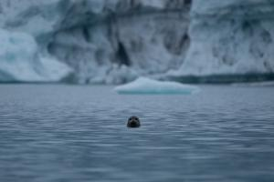 A harbor Seal at Bear Glacier in Kenai Fjord National Park. by Jonathan Irish