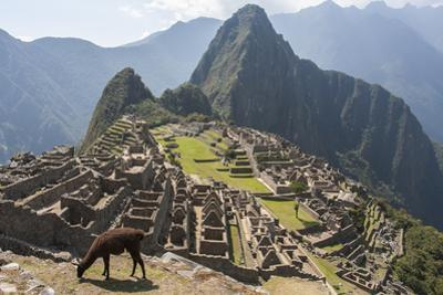 A Llama Grazing on the Grounds of Machu Picchu, an Ancient Inca City