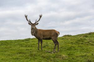 Deer in Cairngorms National Park in the Scottish Highlands. by Jonathan Irish