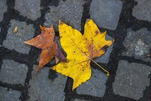 Leaves in Autumn Hues on a Black Cobblestone Street by Jonathan Irish
