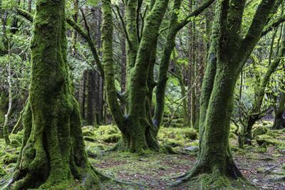 Moss covered trees in Killarney National Park, Killarney, Ireland. by Jonathan Irish