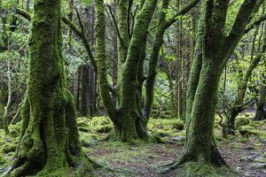 Moss covered trees in Killarney National Park, Killarney, Ireland. by Jonathan Irish