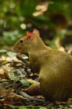 A Central American Agouti Foraging for Food on Barro Colorado Island by Jonathan Kingston