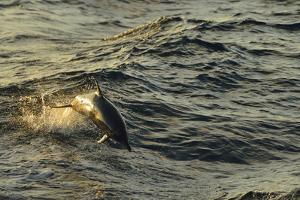 A Dolphin Leaps from the Waters of the Pacific Ocean at Sunset by Jonathan Kingston