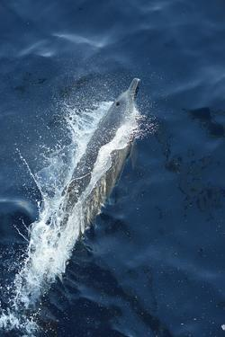 A Dolphin Swimming in the Clear Blue Waters of the Pacific Ocean by Jonathan Kingston