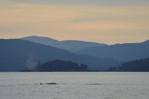 A Fin Whale, Earth's Second Largest Animal, Swimming in Hecate Strait at Sunset by Jonathan Kingston