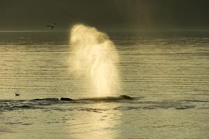 A Geyser of Spray from a Humpback Whales Exhaling in the Inside Passage by Jonathan Kingston