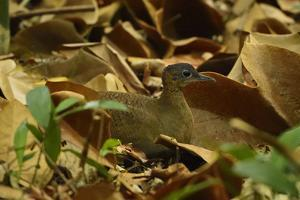 A Great Tinamou Blends into the Brown Leafs of the Forest Floor on Barro Colorado Island by Jonathan Kingston