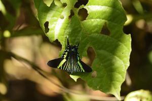 A Green Page Moth, Urania Fulgens, in Manuel Antonio National Park by Jonathan Kingston