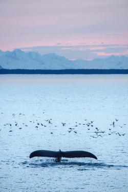 A Humpback Whale, Megaptera Novaeangliae, Diving Near a Flock of Birds at Sunset by Jonathan Kingston