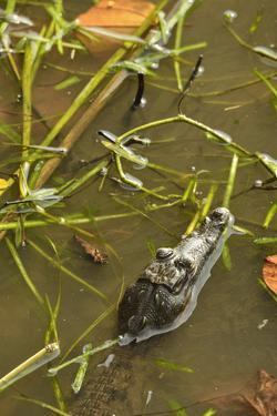 A Juvenile American Crocodile in the Waters of Barro Colorado Island by Jonathan Kingston
