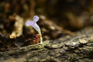 A Leafcutter Ant Carries a Pink Flower Back to its Colony on Barro Colorado Island by Jonathan Kingston