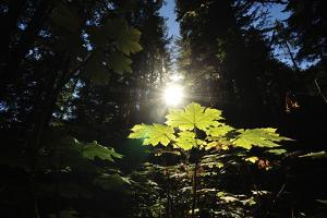 A Low Angle View of a Backlit Devil's Club Tree in a Temperate Rainforest by Jonathan Kingston