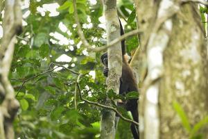 A Mantled Howler Monkey, Alouatta Palliata, on Barro Colorado Island by Jonathan Kingston