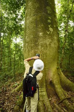 A Tourist Takes a Picture of a Giant Cuipo Tree, Cavanillesia Platanifolia by Jonathan Kingston