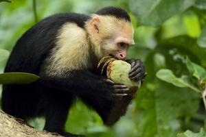 A White-Faced Capuchin Monkey Eats an Unripe Mango in Manuel Antonio National Park by Jonathan Kingston