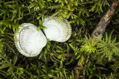 A White Shell on a Bed of Lanky Moss, Rhytidiadelphis Loreus by Jonathan Kingston
