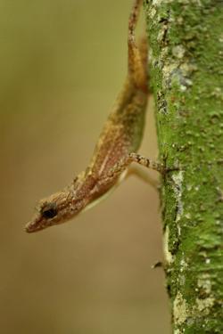 An Anole Lizard on Barro Colorado Island by Jonathan Kingston