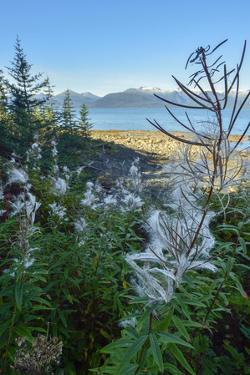Fireweed Seeds Bursting from their Capsules, Ready to Be Carried Away by the Wind by Jonathan Kingston