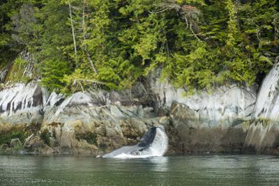 Humpback Whale Throws a Rooster Tail Off its Tail in the Inside Passage by Jonathan Kingston