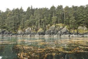 Kelp Beds Line the Rocky Forested Shore of Sgang Gwaay by Jonathan Kingston