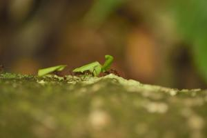 Leafcutter Ants Carry Leafs Back to their Colony on Barro Colorado Island by Jonathan Kingston