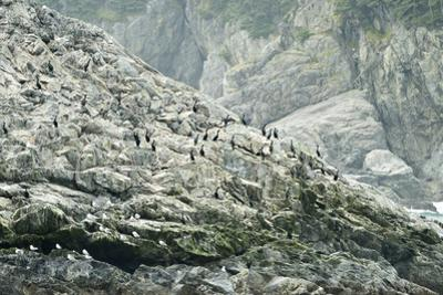 Pelagic Cormorants on the Rocky Shore of the Inian Islands by Jonathan Kingston