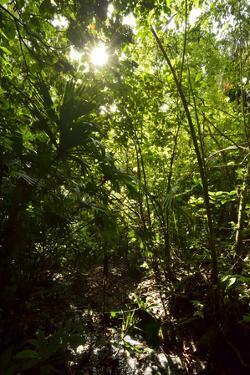 The Sun Shines Through the Dense Tropical Jungle on Barro Colorado Island, Panama by Jonathan Kingston