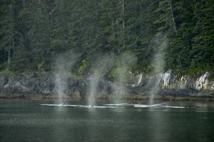 Water Vapor Spraying from the Blowholes of Humpback Whales Swimming Near the Coast in the Rain by Jonathan Kingston