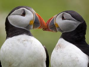 2 Atlantic Puffins Touching Beaks by Jonathan Lewis
