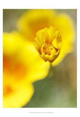 California Poppy III by Jonathan Nourock
