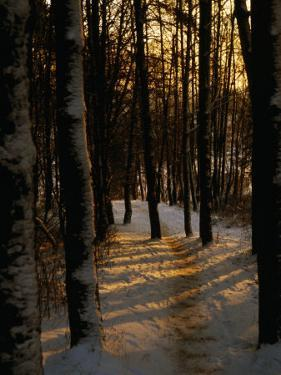 Snow-Covered Trees in Forest, Early Evening, Lithuania by Jonathan Smith