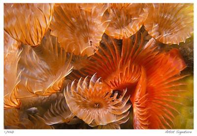 Feather Duster Colony by Jones-Shimlock
