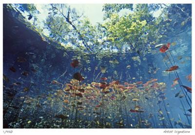 Lilly Pads by Jones-Shimlock