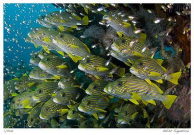 Schooling Sweetlips with Glassfish by Jones-Shimlock